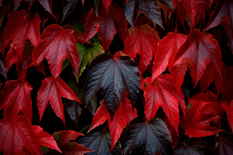 Red Leaves of Fall / Autumn : Tylney Hall, Hook, Hampshire : UK
