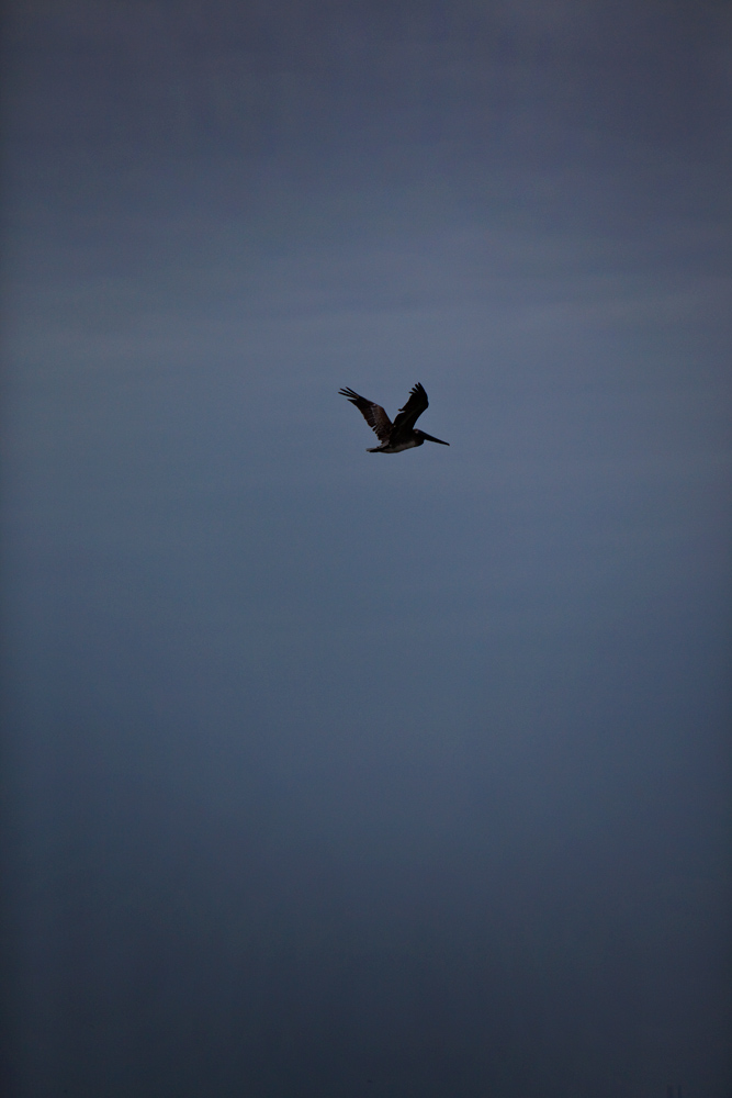 Lone Flying Pelican : Gulf Coast : Louisiana
