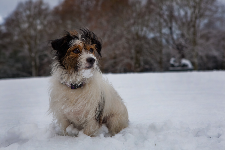 Ringo in the Snow : Hampstead Heath : North London