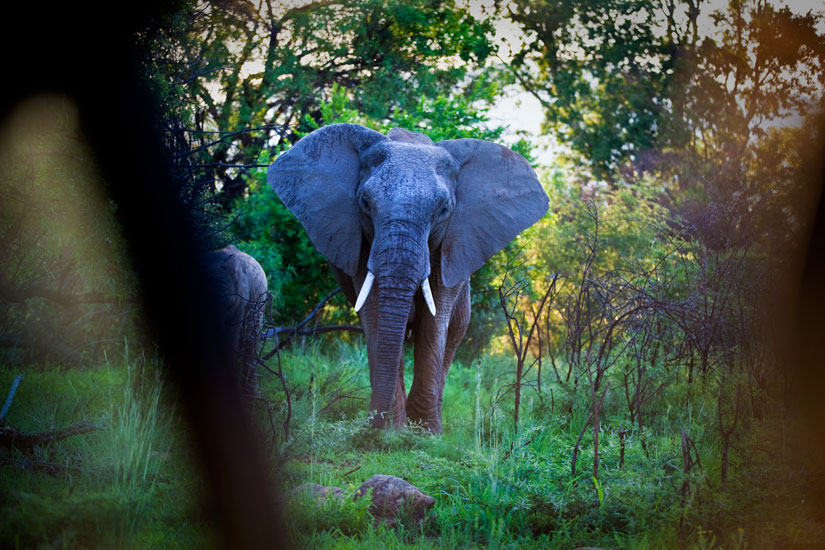 Awesome Elephants : Pilanesburg : South Africa