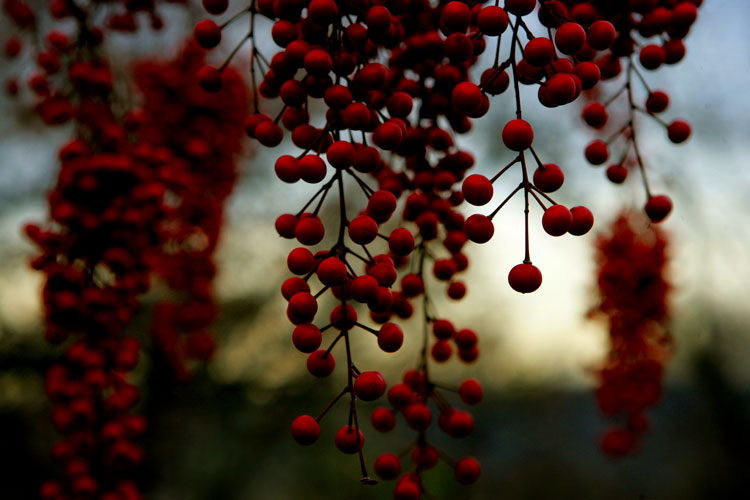 Red Berries of Fall : Wave Hill : The Bronx NYC