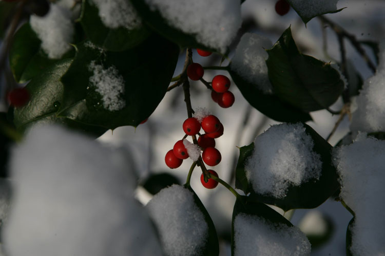 Holly berries - DC