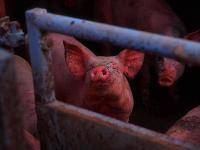 Pigs : Welsh Farm : UK