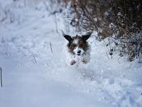 Ringo Crazed Manic Pup in Snow : Warwickshire Countryside : UK