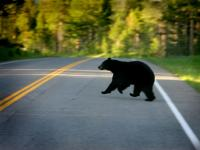 Running Bear : Yellowstone Park : Wyoming